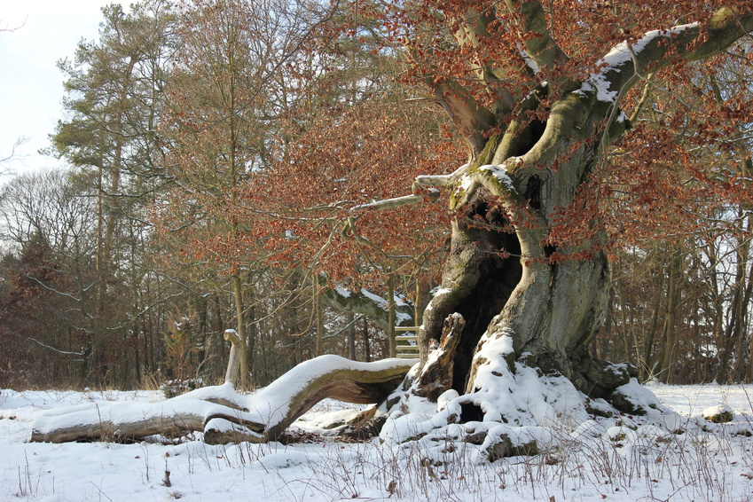 Winter im Burgwald alter Baum