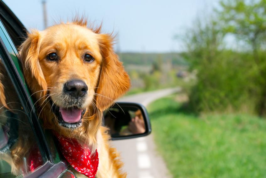 Golden Retriever schaut aus dem Autofenster